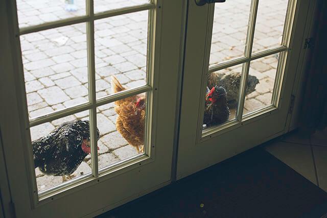 Hens Preening at the door