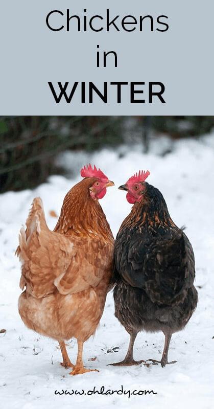 chickens in winter - ohlardy.com