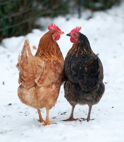 chickensinwinter