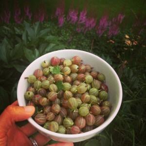 Fresh Gooseberries for my Gooseberry Cobbler